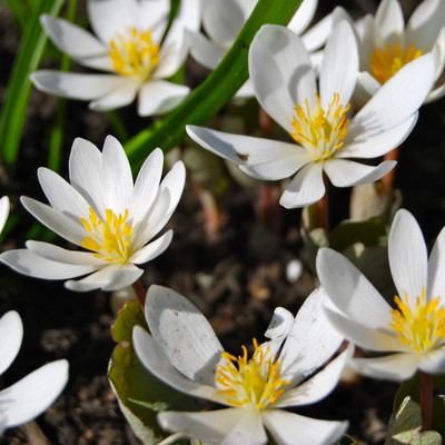 bloodroot plants in full bloom
