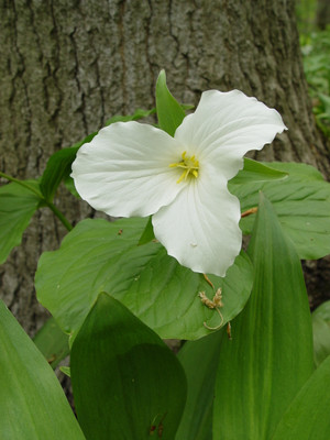 Great White Trillium