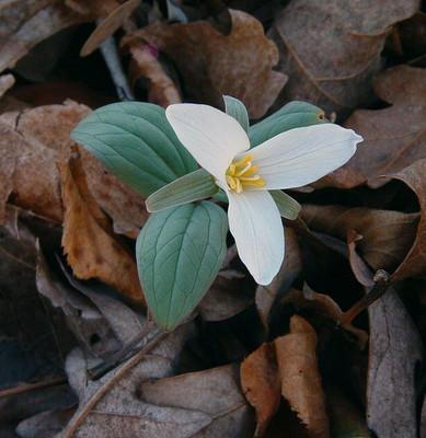 Trillium Nivale - Snow Trillium