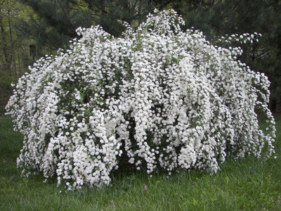 Bridal Wreath Spirea