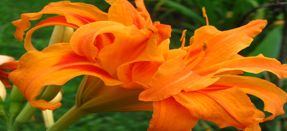 Buy Perennials Online