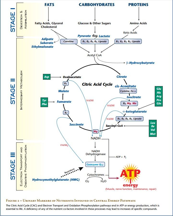 citric-acid-cycle.jpg