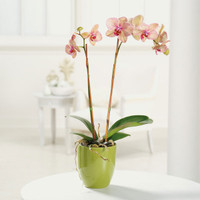 Double spike Phalaenopsis orchid