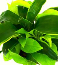 "Draceana Dorado + Philodendron Neon - 4"" hydro planter"