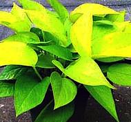 "Pothos Neon - 5"" hydro planter"