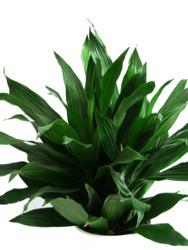 "Starter Plant - Dragon Green Jewel  - 4"" hydro planter"