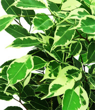"Ficus Benjamina 'variegated' - 5"" Hydro Planter"