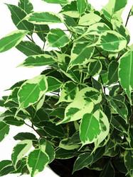 "Ficus Benjamina 'variegated' - 4"" Hydro Planter"
