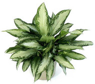 Chinese Evergreen - Silver Bay