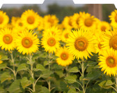 Image shows folded view of Sunflowers Designer File-'N Style Folder.