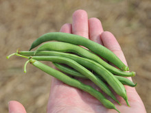 Blue Lake Bush Green Bean