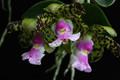 C. aclandiae 'Exotic Jaguar' x sib