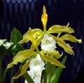 L. tenebrosa var. aurea 'Pauwela Gold' x V. tenebrosa var. alba 'Golden Dream'