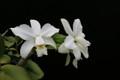 C. violacea var. alba 'Exotic Orchids' x self
