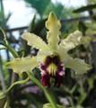 Schom. albopurpurea 'Exotic Orchids'