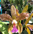 C. schofieldiana 'Exotic Orchids' AM/AOS x self