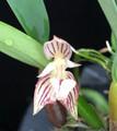 Bulb. ambrosia