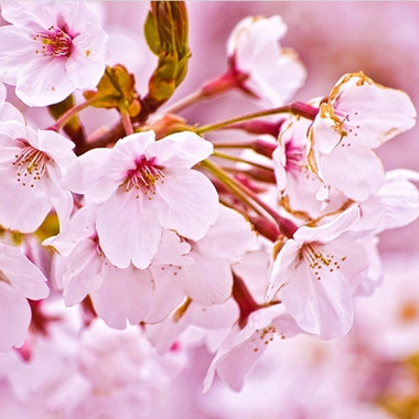 Cherry Blossom (PG) water soluble  This is a light, elegant flavor. Some people have said it tastes like cherry, others find a light, refreshing taste.  This seems to be one of those flavors that taste differently to different people.  This is the same flavor as our original Cherry Blossom, but made with PG instead of Triacetin.  Ingredients: Natural and Artificial Flavors, Propylene Glycol