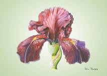 Iris 1 - 8x10 Green