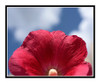 Red Hollyhock Flower Detail Against a Blue Sky 2644