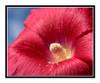 Red Hollyhock Flower Detail Against a Blue Sky 2646