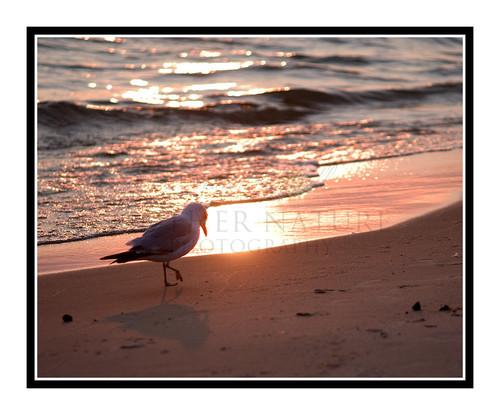 Seagull Walking Across the Beach on Lake Michigan, St. Ignace, Michigan 897