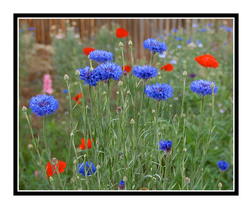 Blue Bachleor Button Flowers in a Garden 605