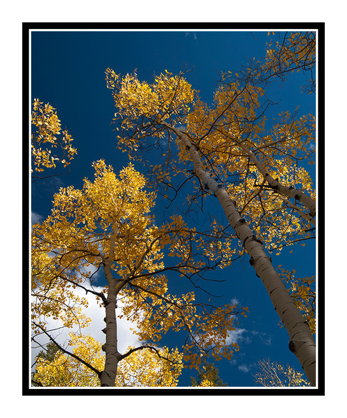 Aspen Trunks in Rocky Mueller State Park, Colorado 2005