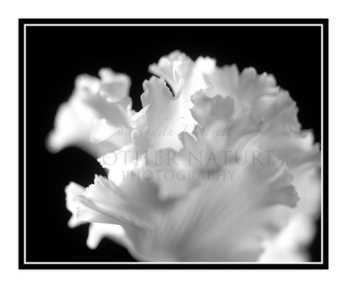 Cyclamen Flower Detail 2411 B&W