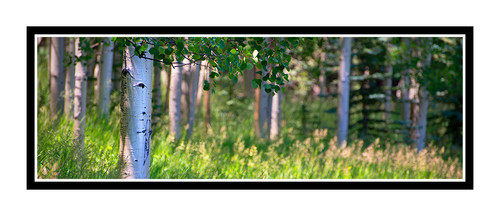 Aspen Trees Backlit in Summer, Colorado 2118 Pano