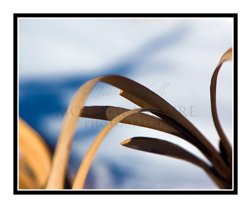 Leaves from a Cattail Plant at Red Rock Canyon, Colorado Springs, CO 1295