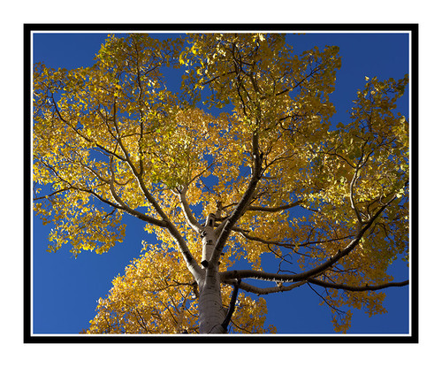 Aspen Tree in Autumn Mueller State Park, Colorado 2505