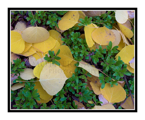 Golden Aspen Leaves in Autumn Mueller State Park, Colorado 2511