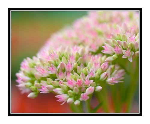 Pink Sedum Stonecrop Flower in a Garden 2628
