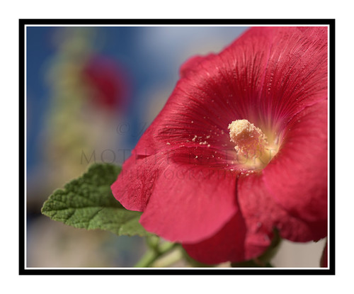Red Hollyhock Flower Detail Against a Fence 2655