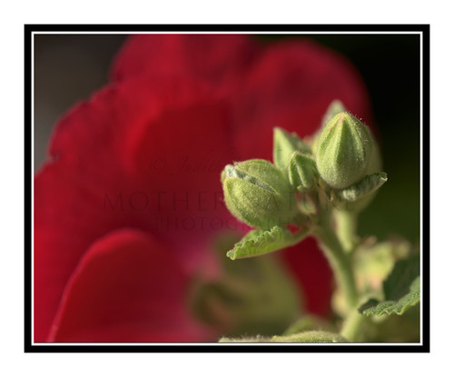 Red Hollyhock Flower Bud 2659