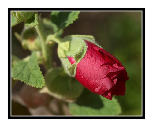 Red Hollyhock Flower Bud 2660