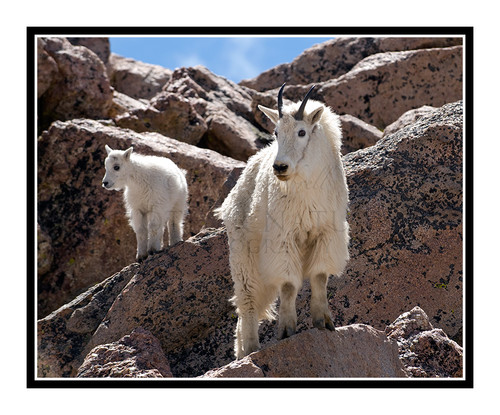 Mountain Goats at Mt. Evans, Colorado 1508