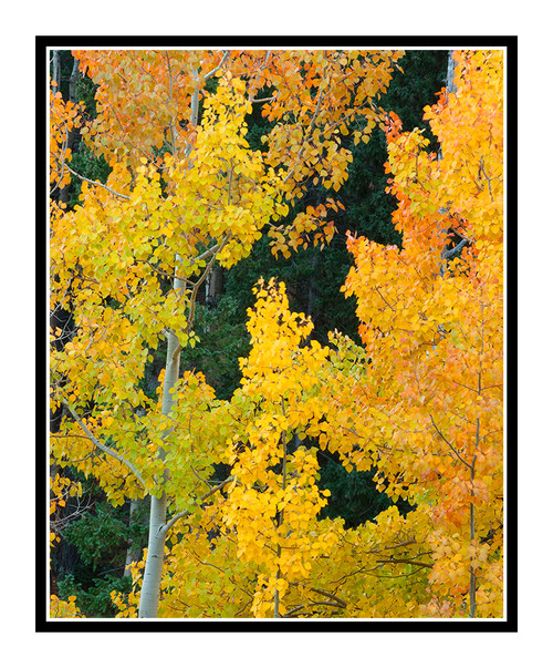 Aspens on Old Stage Road 1872