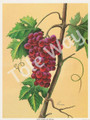 Red Grapes by Reina (6x8)