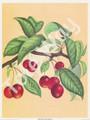 Cherries by Reina (6x8)