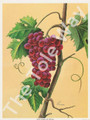 Red Grapes by Reina 177 (4x5)
