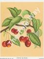 Cherries by Reina 178 (4x5)