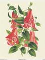 Lampageria Rosea (8x10)