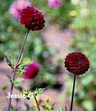 J-19 Jessie G   Ball/Pur