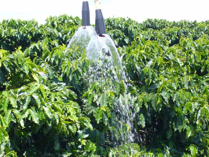 Coffee plants are watered with irrigation.