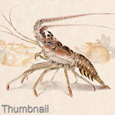 "(Original) ""Spiny Lobster"" (SOLD)"
