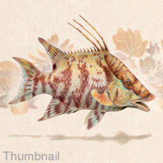 "(Original) ""Hogfish"" (SOLD)"