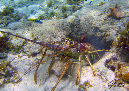 """Image: This image of a Spiny Lobster was captured by renowned artist Jason Mathias while freediving on a coral reef off the coast of the Cayman Islands. Image size: This fine art metal print comes in a """"16x24"""" size, it also come with a mount on the back for easy and immediate hang-ability. Process: We take Jason Mathias's underwater photography and sublimate them right into the surface of a solid sheet of aluminum metal for beautiful sleek look and supreme durability for a piece of fine art. Our unique process produces vibrent, iridescent and bright vivid colors that can be enjoyed inside our outside of your home or office."""