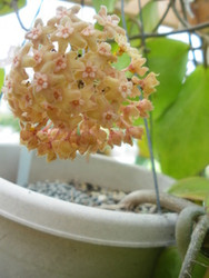 Hoya Chunii (also called Chuniana)
